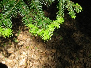 New evergreen growth