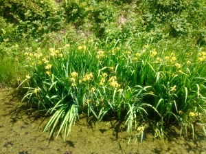 Yellow Flag Irises at Carrouges