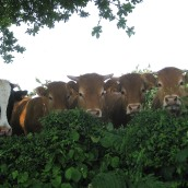 How now brown cow? Or several reasons to turn vegetarian.