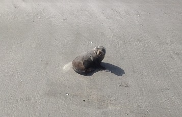 Seal of Disapproval. It barked at me. Bryans Beach, Ohiwa, Bay of Plenty, NZ